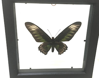 Beautiful Female Birdwing Butterfly Ornithoptera Trogonoptera Brookiana  Butterfly/Insect/Taxidermy/Lepidoptera.
