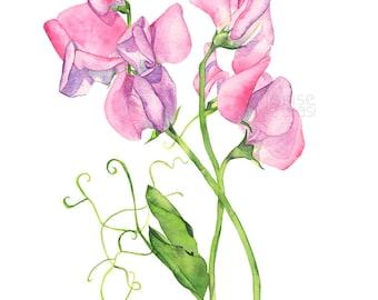 Sweet Peas watercolour painting print, Sweet Peas print, sweet pea print, 5 by 7 size print, SP16716, Botanical wall art, flower watercolour