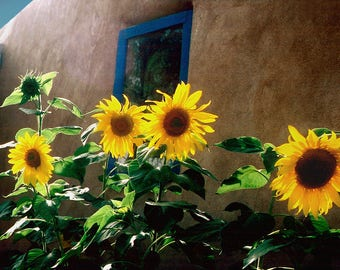 Sunflowers by adobe house