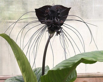 Tacca Chantrieri 10 Seeds, The Black Bat Flower, Garden Landscape Plants