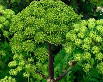 Norwegian Angelica Herb Seeds (Angelica archangelica) 50+Seeds