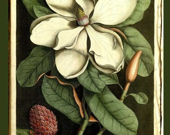 Magnolia Flower - Mark Catesby ~  1740 ~ Botanical lithograph ~ Natural History of Carolina ~ Giclee Fine Art Print