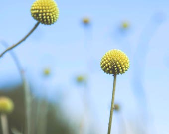 Yellow Ball Billy Button Flowers Against the Blue Sky
