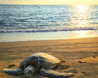 Hawaiian Green Sea Turtle, Kona, Hawaii, Sunset, Animal Photograph Print Edit, Wildlife, Water, Beach Life, Home Decor Wall Art, Photography