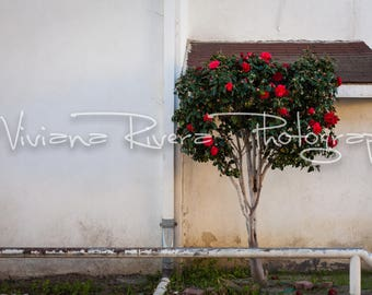 Ventura_California_Wall_Tree_Flowers_Bloom_Urban_Art_Photography_Prints