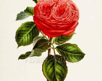 Botanical Print, Botanical Art Print, Bernard Palissy Rose Flower Art Print, Flower Wall Art, Flower Print, Floral Print, Red Rose Art Print