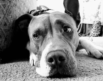 Staffordshire Bull Terrier, Staffie Photography Print