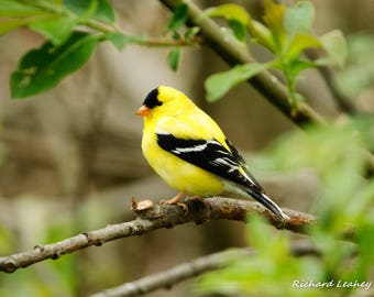 Bright and Sunny Goldfinch