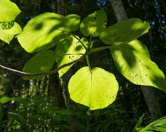 Shadowy Green Leaves Photo Print Wall Art Print Photography