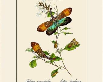 Insects of India, Hempitera, Edward Donovan, Art Print with Mat, Note Card, Natural History Illustration, Wall Art, Wall Decor