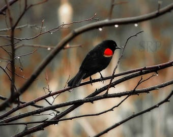 Singing In the Rain - PHOTO PRINT - Red-Winged Blackbird