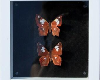 Twin butterflies (small) Eastern Flat