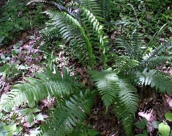 30 glade ferns,Diplazium pycnocarpon