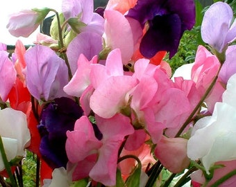 Sweet Pea Mammoth Mixed Appx 230 seeds