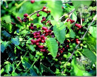 Kona Coffee Hawaiian Starter Plant - Approx. 6 - 10 Inches