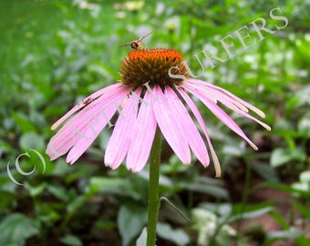 Echinacea Flower (Echinacea angustifolia) and Insects - Shenyang China Stock Photo Image (DDLSP) Digital Download - Medicinal Plant