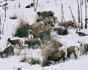 LG. Bighorn sheep print