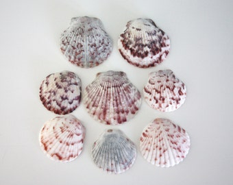 "8 Calico Scallop Shells from Sanibel, 1""- 1.5"", hand collected"