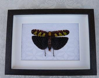 Grasshopper Sanae