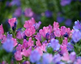 200 Seeds Tree Echium vulgare Vipers Bugloss Hardy Biennial Exotic Mixed Colors Garden Flower B0011
