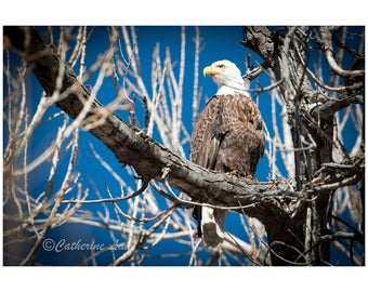 Bald Eagle Photograph Digital Download Fine Art Photography Wild Life