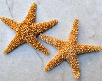 "Medium Sugar Starfish (2 pcs.) - (3-4"") - Piaster Ochraceus"
