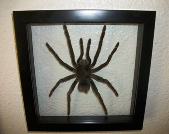 Female Bird Eating Tarantula Spider