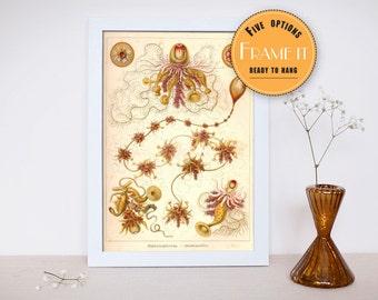 "Vintage illustration from Ernst Haeckel  - framed fine art print, sea creatures,sea life, home decor 8""x12"" 282"
