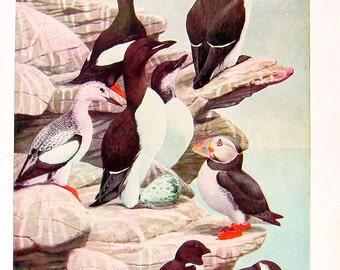 Black Guillemot, Pomarine Jaeger - Bird Print - 1936 Vintage Book Page