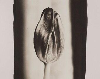Tulip No. 3383