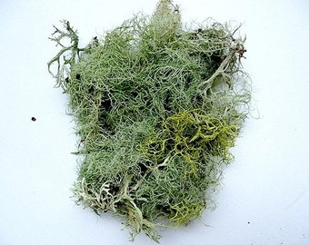 Moss Lichen Terrarium Natural Authentic Forest