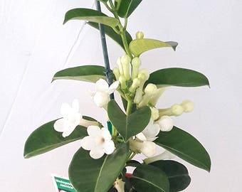 "Madagascar Jasmine Plant - Stephanotis/Bridal Wreath - 4"" pot"