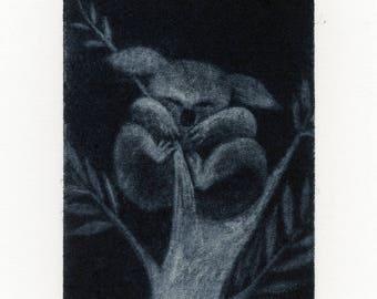 Koala, Mezzotint engraving