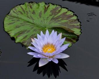 Water Lily Print, Zen Photo, Water Lily Wall Art, Zen Wall Art, Water Lily Photograph, Blue and Green Yoga Studio Art, Lily Pad, Spa Artwork