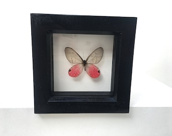Beautiful Delicate Cithaerias Pireta  Butterfly/Insect/Taxidermy/Lepidoptera.