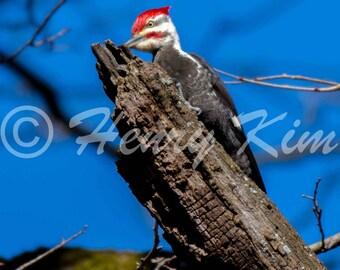 Pileated Woodpecker, Woodpecker, Wall Decor, Fine Art,Photo, Photography, Nature, Wildlife, Birds, Education