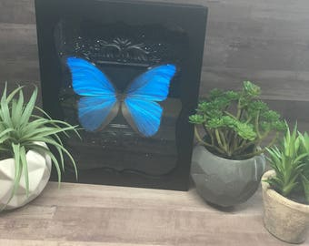 Sky Blue Morpho Butterfly Framed Shadow Box