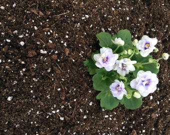 Hirt's Gardens All Natural African Violet Soil - 4 Quart