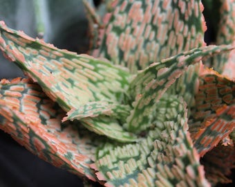 "Hybrid Aloe 'Delta Dawn' 3.5"" Pot"