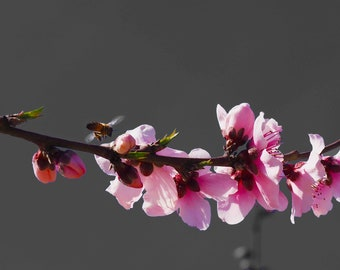 Spring Blossom #1 fine art print - contemporary art - photography -  wall art - flowers - spring blossoms - pink blossoms
