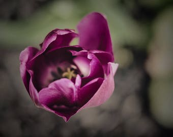 tulip photo flower photography, pink purple fuchsia home decor photograph, nature art print spring decor tulips botanical macro close up zen
