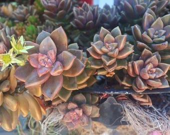 Graptosedum - California Sunset Succulent - Cutting