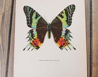 Vintage Butterfly Print circa 1965 by Prochazka, wall decor, Insect Art, Natural History Art