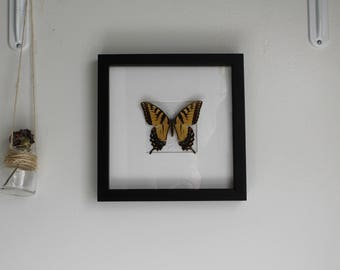Framed Real Eastern Tiger Swallowtail Butterfly / 6x8 in