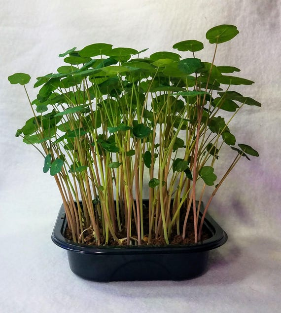 Edible Nasturtium Grow to Eat Microgreen Kit, 4 Crops of Spectacular and Flavorful Microgreens