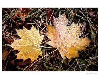 Nature Photography PRINT, Frosty Leaves - 2, Wall Art
