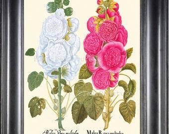 BOTANICAL PRINT Besler 8x10 Botanical Art Print 77 Beautiful Pink White Hollyhock Flower Summer Garden Antique Writing to Frame