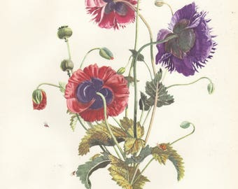 Vintage Botanical Print Poppy Poppies Botanical Bouquet Flower Art Large Lithograph Jospeh Prevost