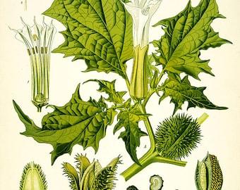 Vintage Botanical Floral jimsonweed print herb plant flowers  herbal print,  flower and seeds print, vintage floral print, vintage herb