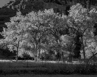 Cottonwoods No. 3, Canyon de Chelly, 2017: A Black and White Photograph 12x15